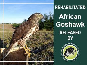 Rehabilitated African Goshawk Released in George