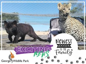 Two Leopard Cubs in George